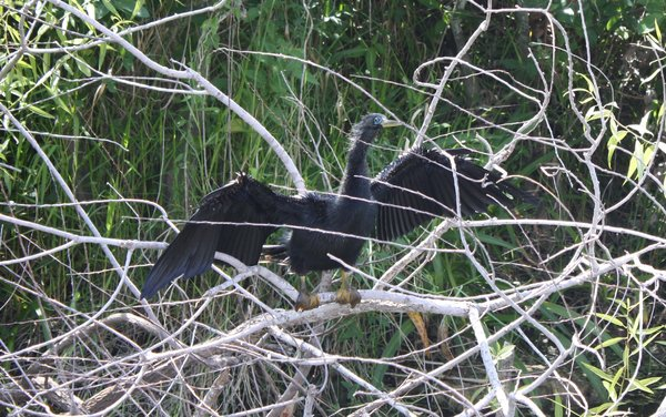 Anhinga_-_Male_-_Everglades,_FL.JPG