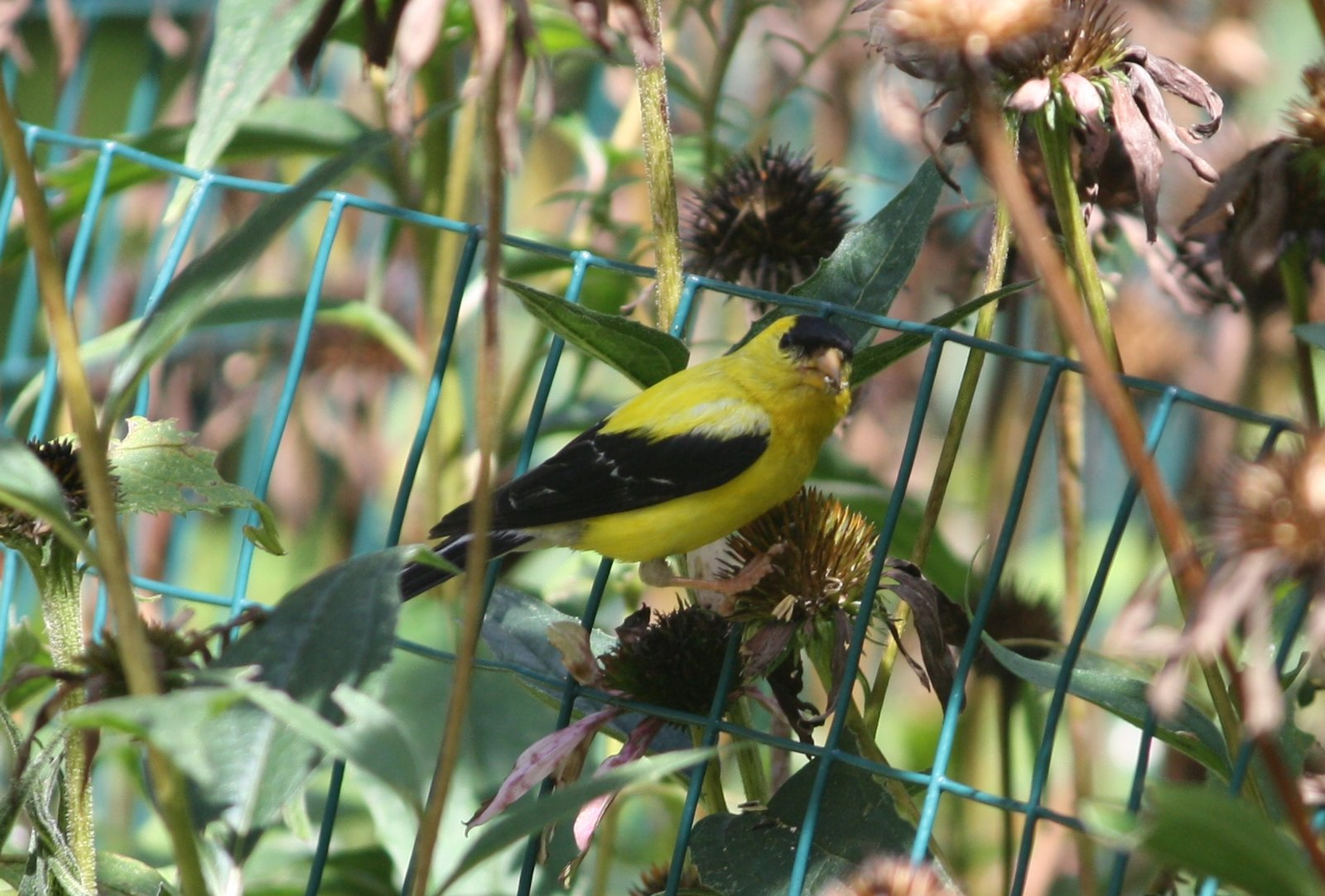American goldfinch - male - New Canaan, CT.JPG