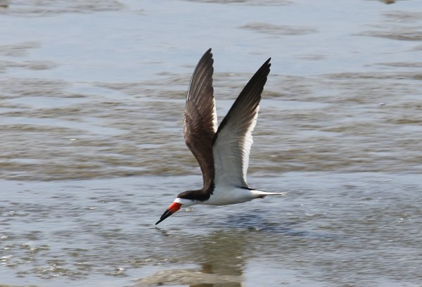 Black skimmer - Edwin B Forsythe Wildlife Refuge, NJ.JPG