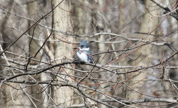 Belted kingfisher - Male - Ridgewood, NJ.JPG