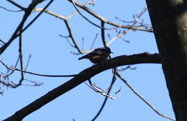 Red-breasted nuthatch - Franklin Lakes, NJ.JPG