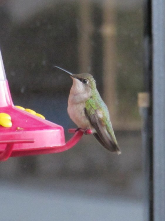 Ruby Throated Hummingbird female 2.jpg