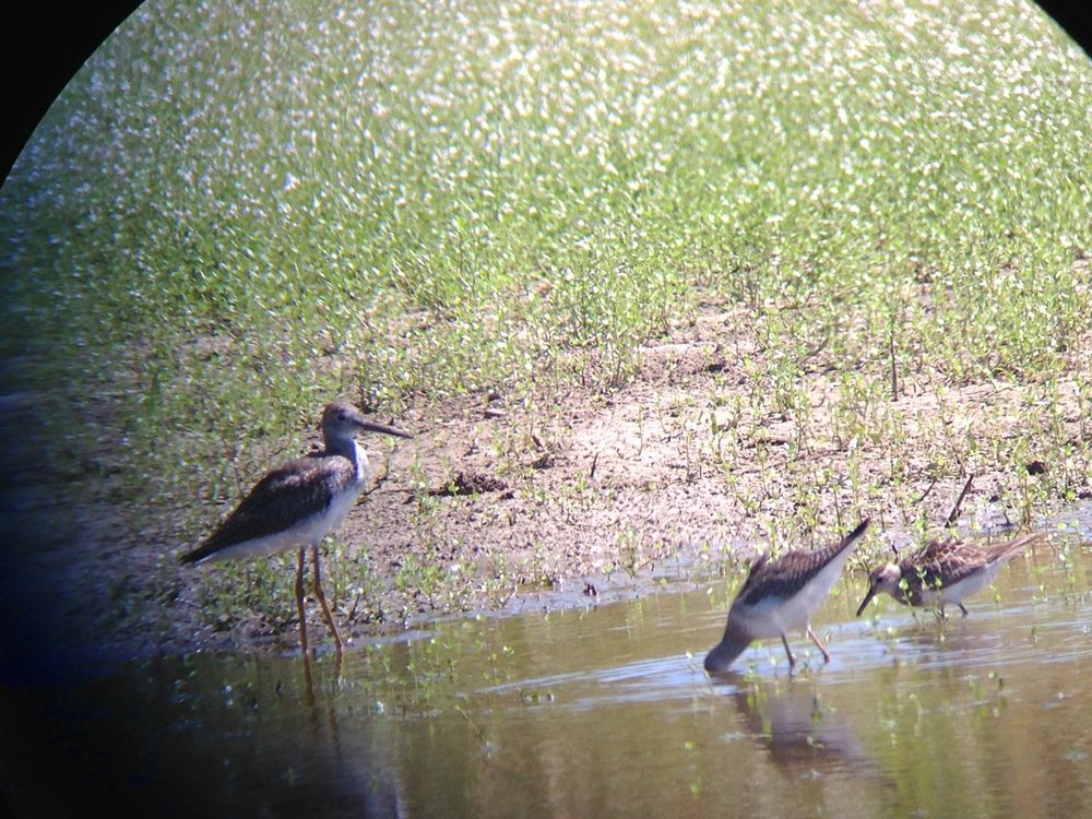 Greater Yellowlegs, Lesser?Yellowlegs? Mystery Bird.jpg