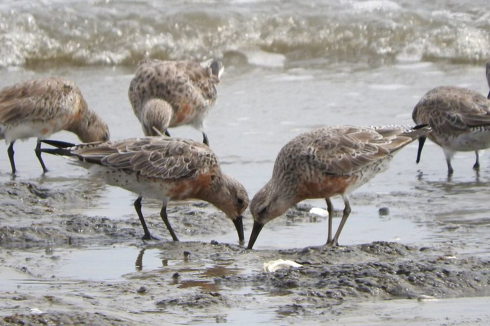 Red Knot 3.JPG
