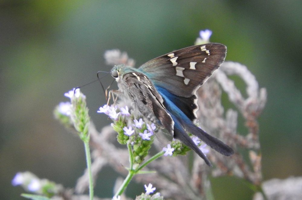Long-tailed Skipper 2 9-29-19.JPG
