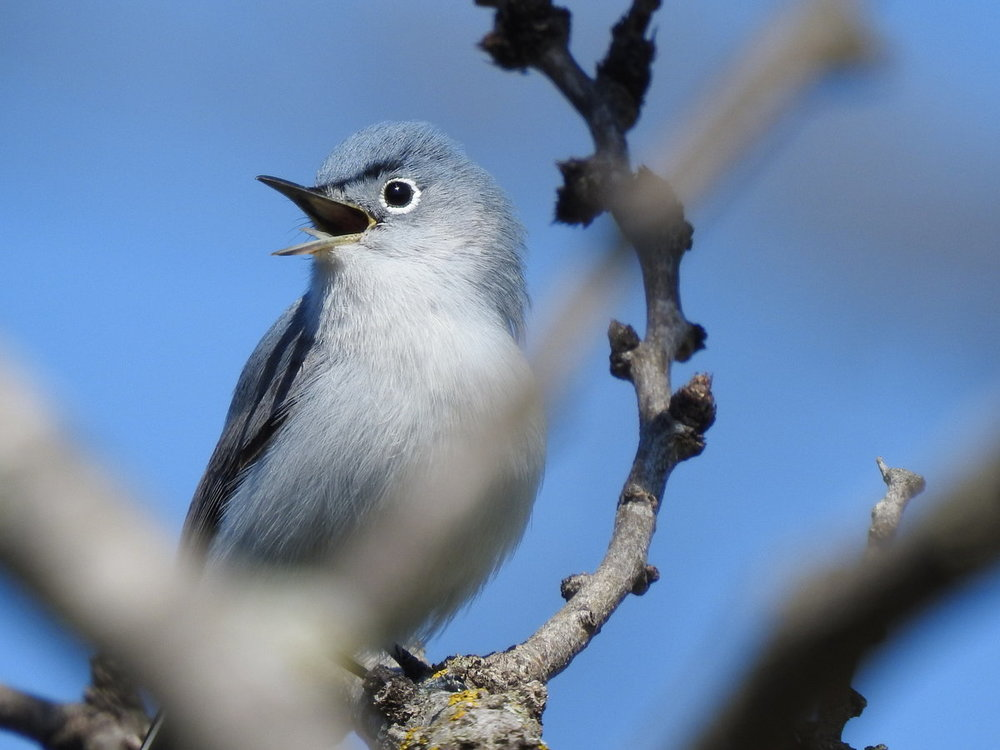 gnatcatcher, blue-gray (4).JPG