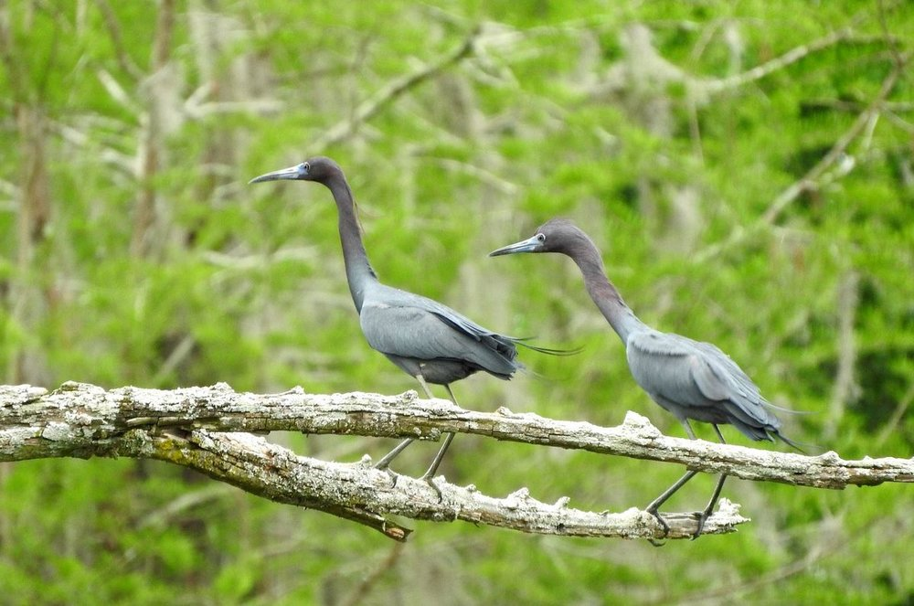 Little Blue Heron 4-1-20.JPG