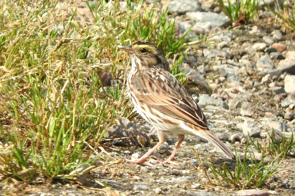 Savannah Sparrow 4-1-20.JPG