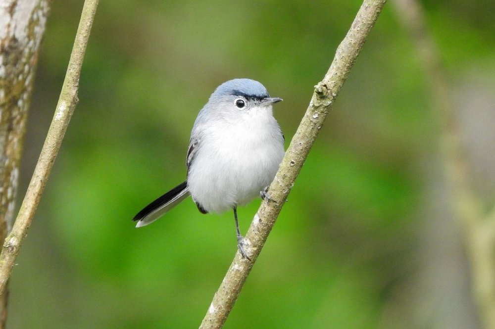 Blue-gray Gnatcatcher 4-1-20.JPG