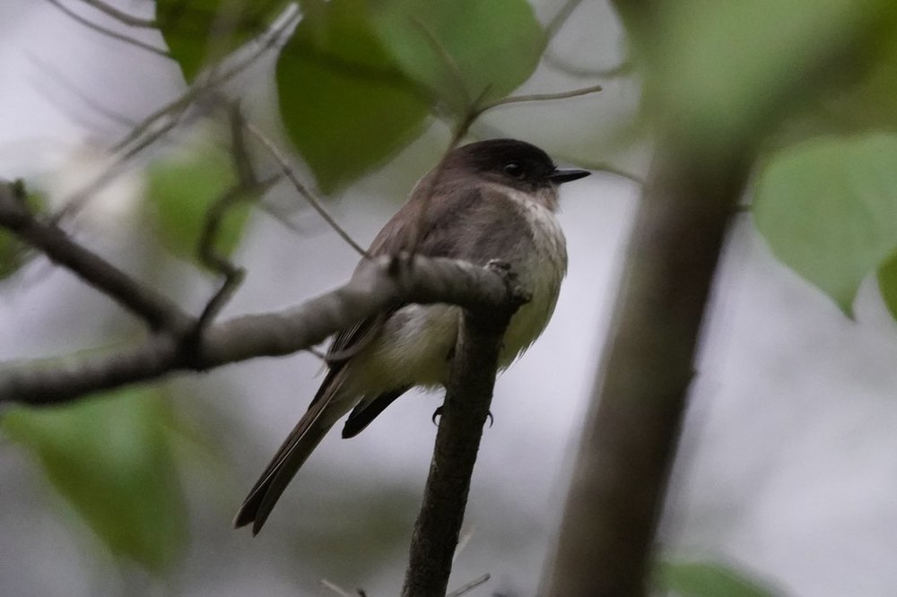 possibly eastern phoebe.jpg