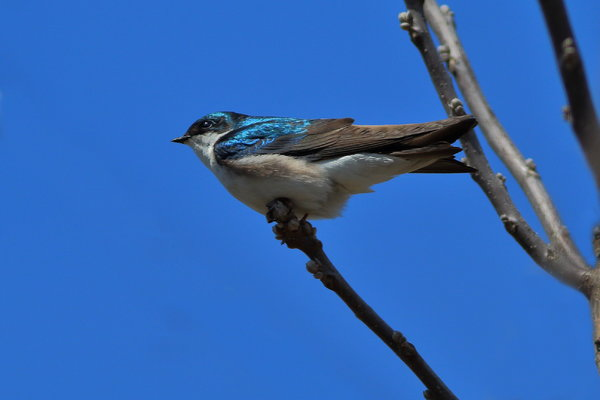 Tree Swallow possible 1.JPG