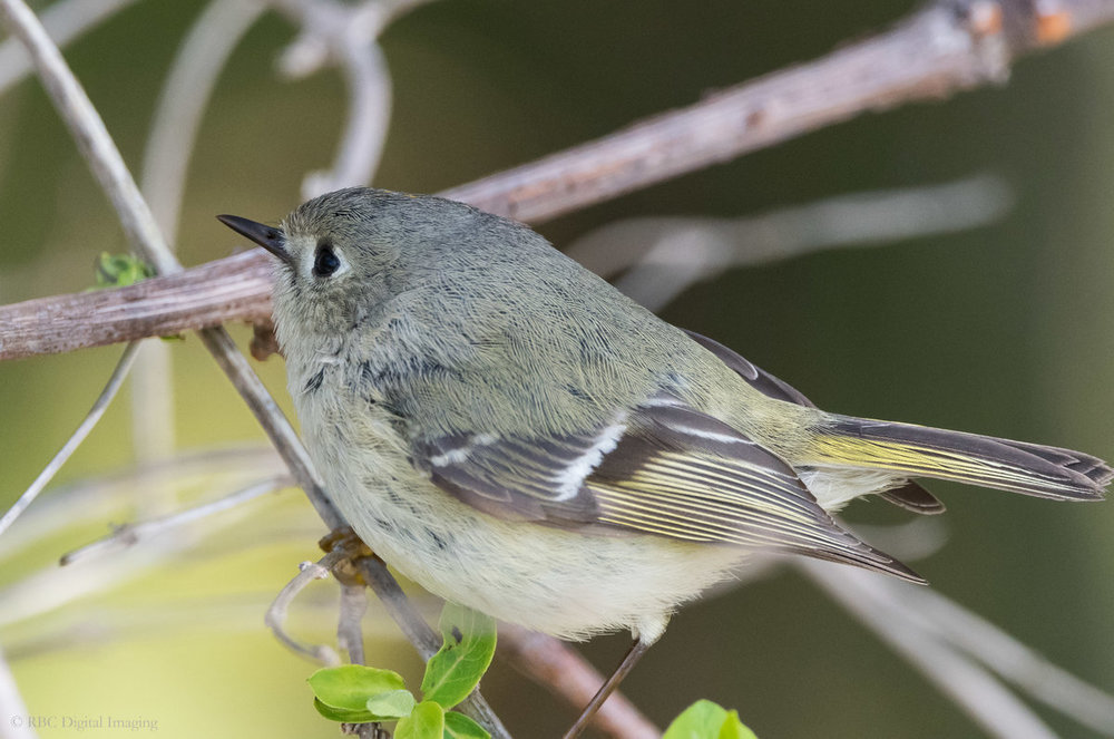Ruby-crowned Kinglet EcoP-756075.jpg