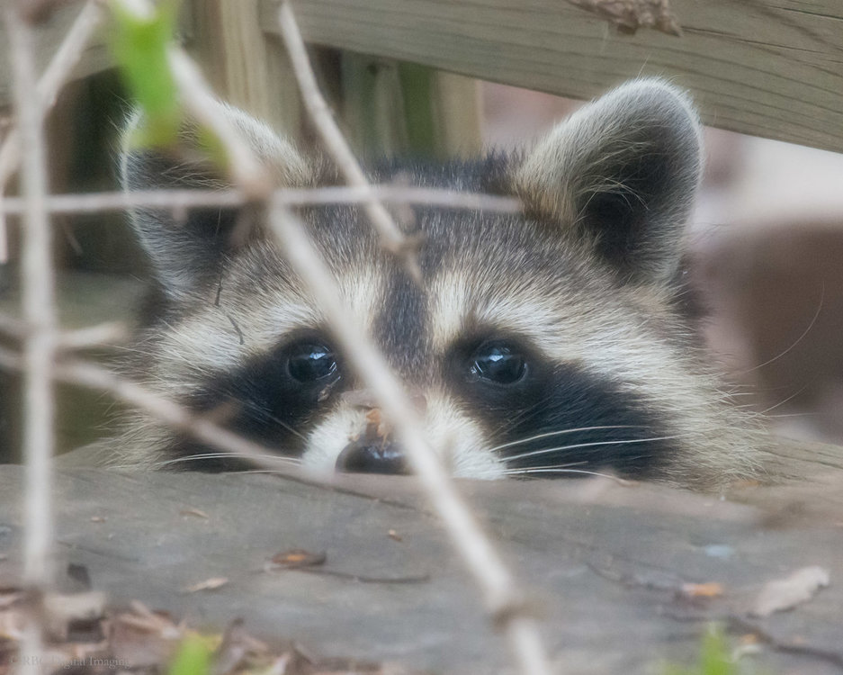 Raccoon kit-7225553.jpg