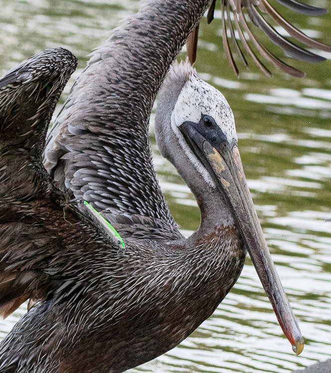 Brown Pelican with lure.jpg