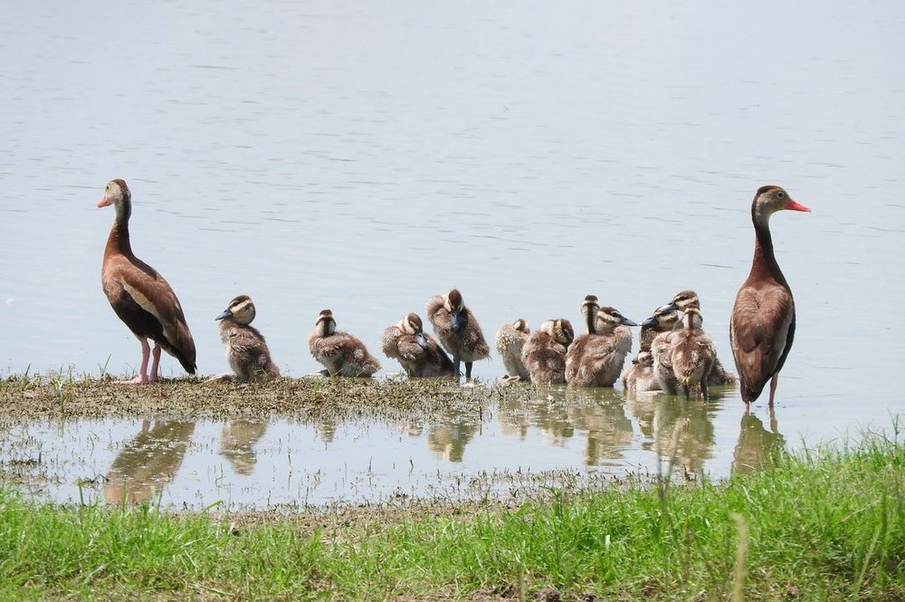 Black-bellied Whistling-Duck 1 7-18-20.JPG