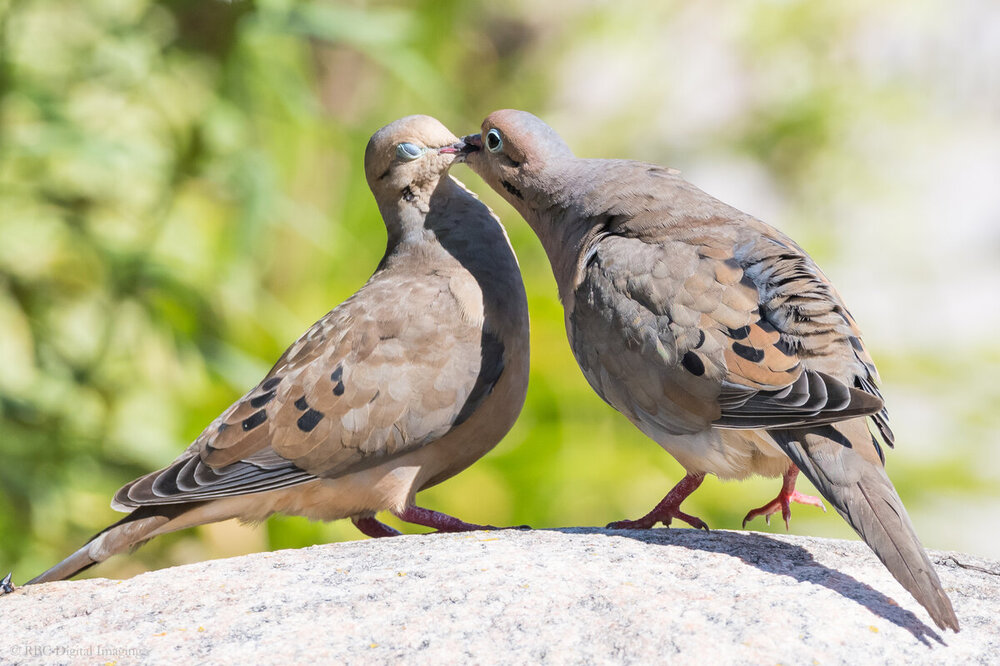 Mourning Dove pair 2 HandC-759823.jpg