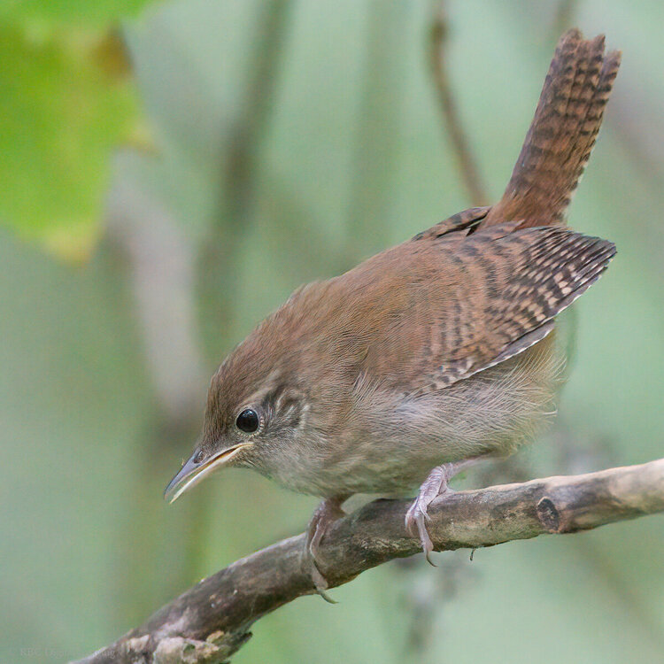 House Wren Topaz Topaz AI Clear 2.2MP HVT D759962-.jpg