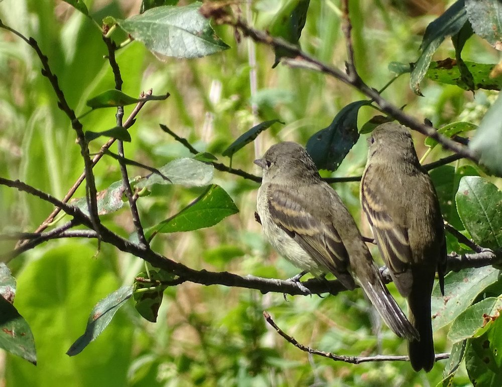 flycatchers1.jpg