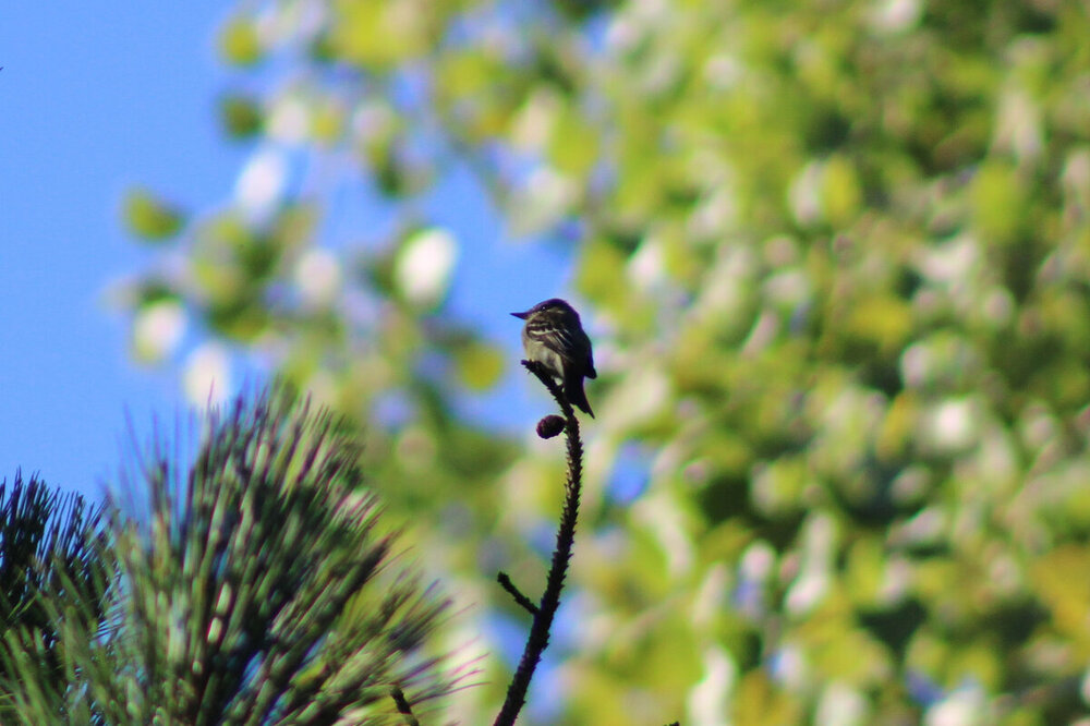 flycatcher 2020-9-13 (1 of 8).jpg
