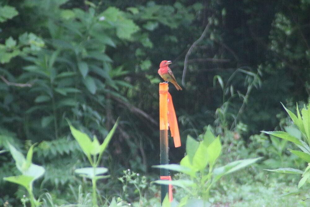 Summer Tanager3.JPG