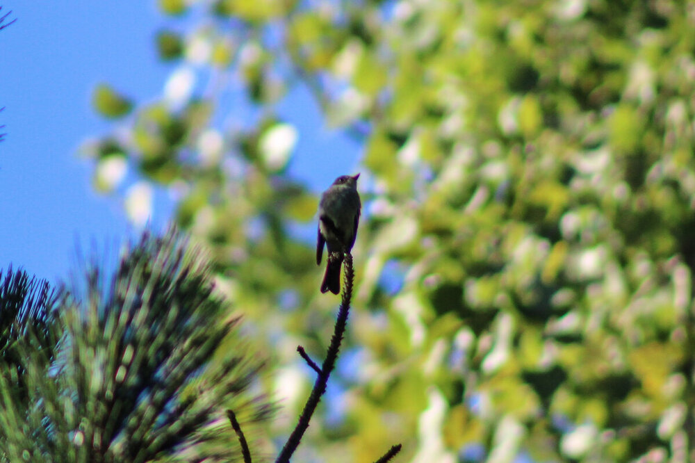flycatcher 2020-9-13 (8 of 8).jpg