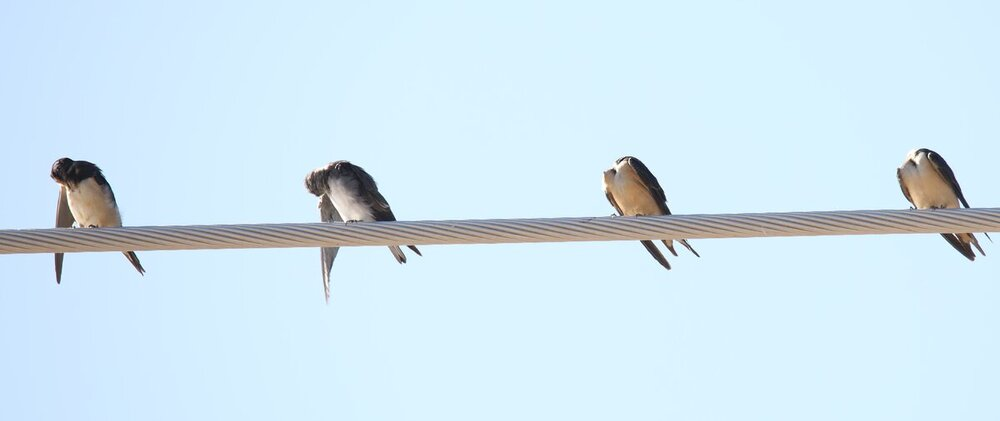 Cliff and Violet Green Swallows.JPG