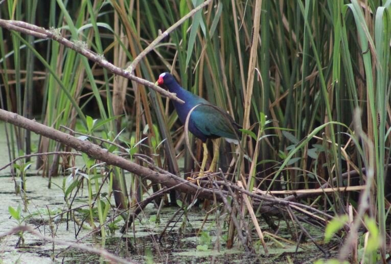 Purple Gallinule.JPG