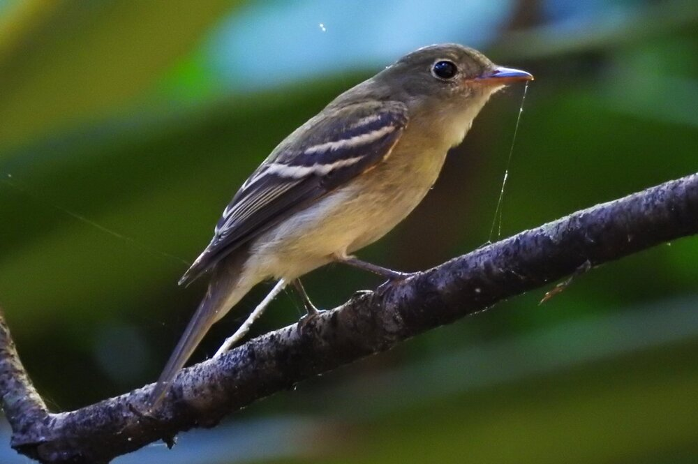 Flycatcher sp (1).JPG