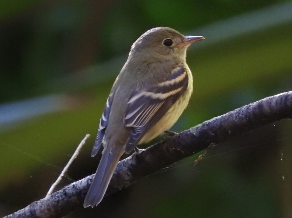 Flycatcher sp (2).JPG