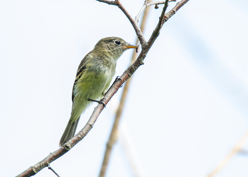 Yellow-bellied-Flycatcher.jpg
