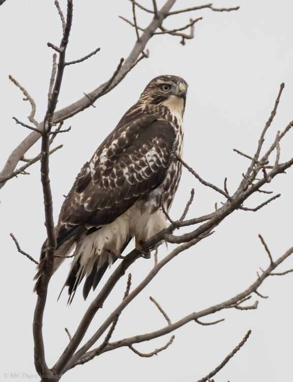 Red-tailed Hawk EcoP-7509402.jpg