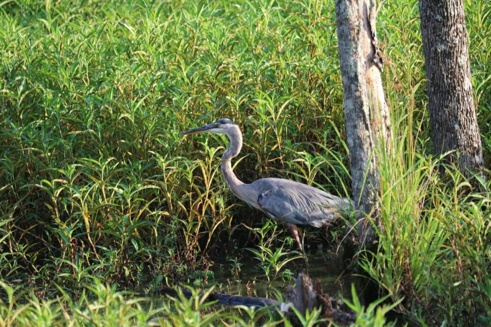 Great Blue Heron1.JPG