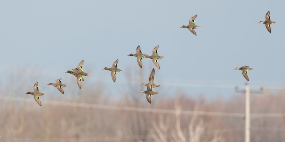 Green-winged Teal if EcoP-7508890.jpg
