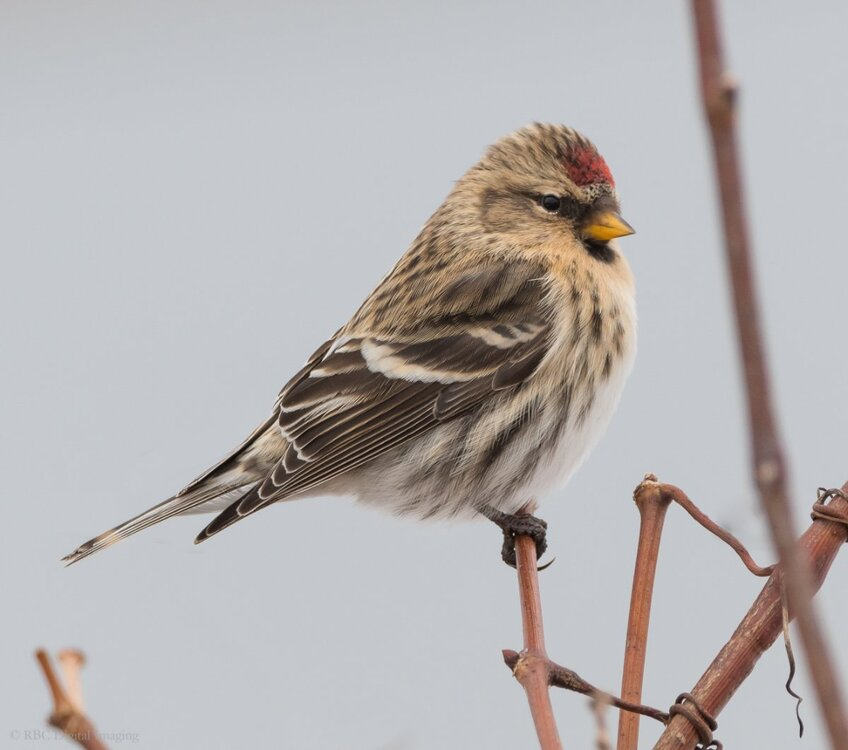 Common Redpoll custom crop EcoP-7509146.jpg