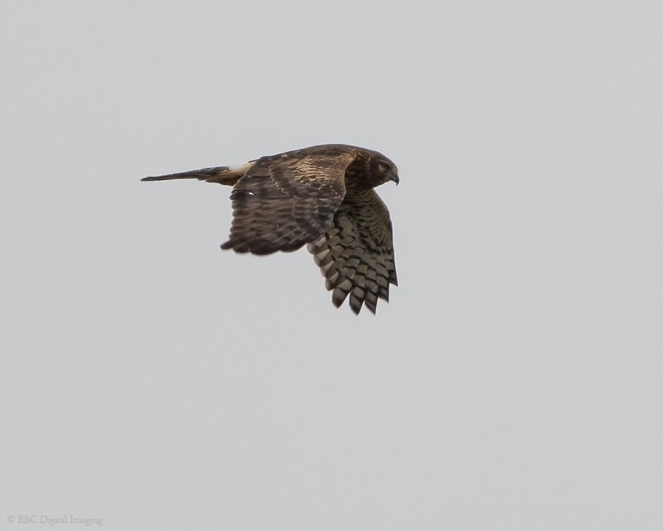 Northern Harrier if EcoP-7509119.jpg