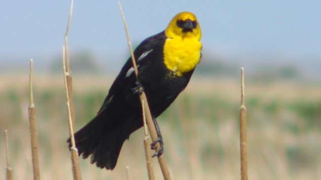 Yellow_headed Blackbird Male.jpg