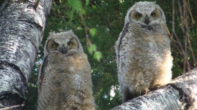 Great Horned Owl Chicks.jpg