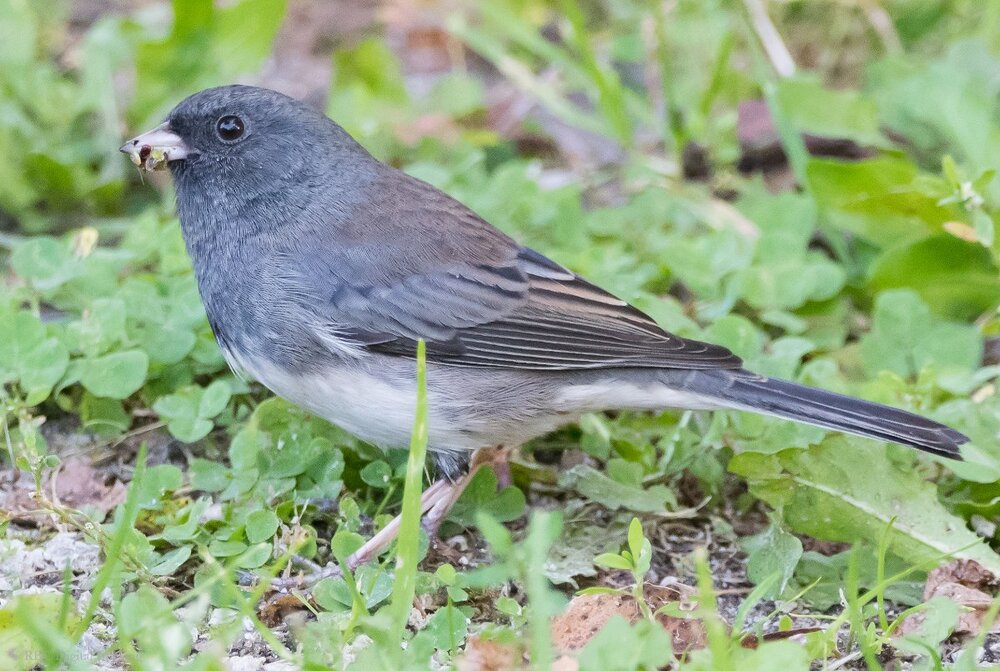Dark-eyed Junco 4x6 HVT-7503875.jpg