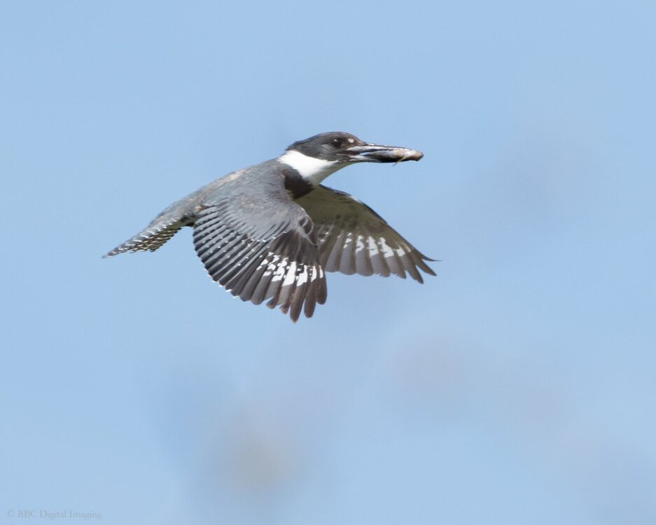 Belted Kingfisher ad f if HVT-757317.jpg