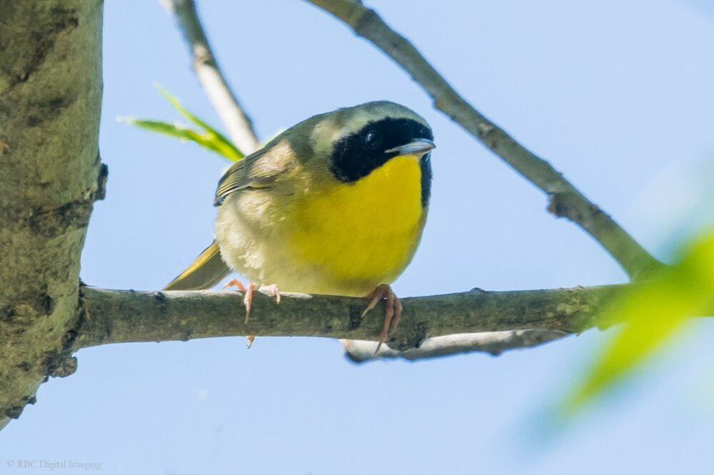 Common Yellowthroat HVT-7219013.jpg