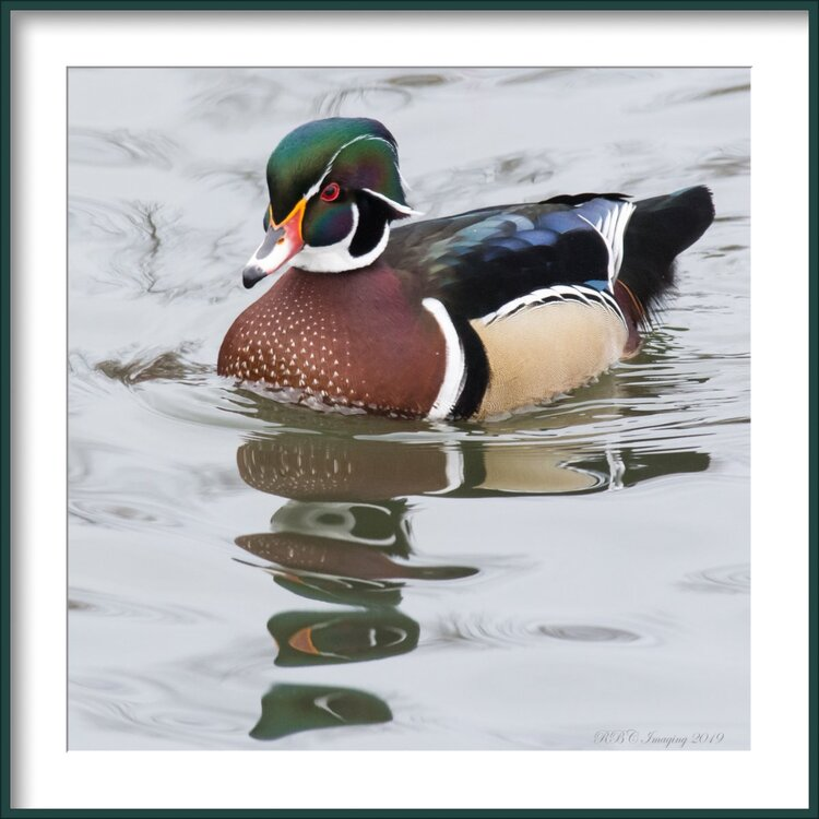 Wood Duck framed-.jpg