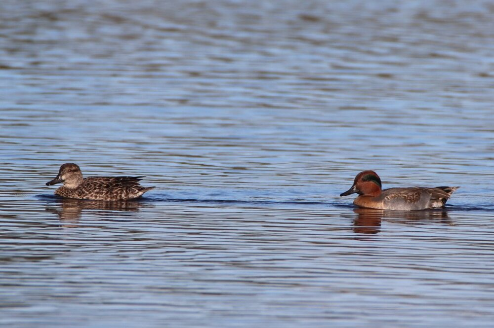 Green-winged teal - male and female - South Cape May Meadows.JPG