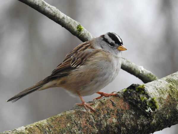 White-Crowned Sparrow (1).JPG