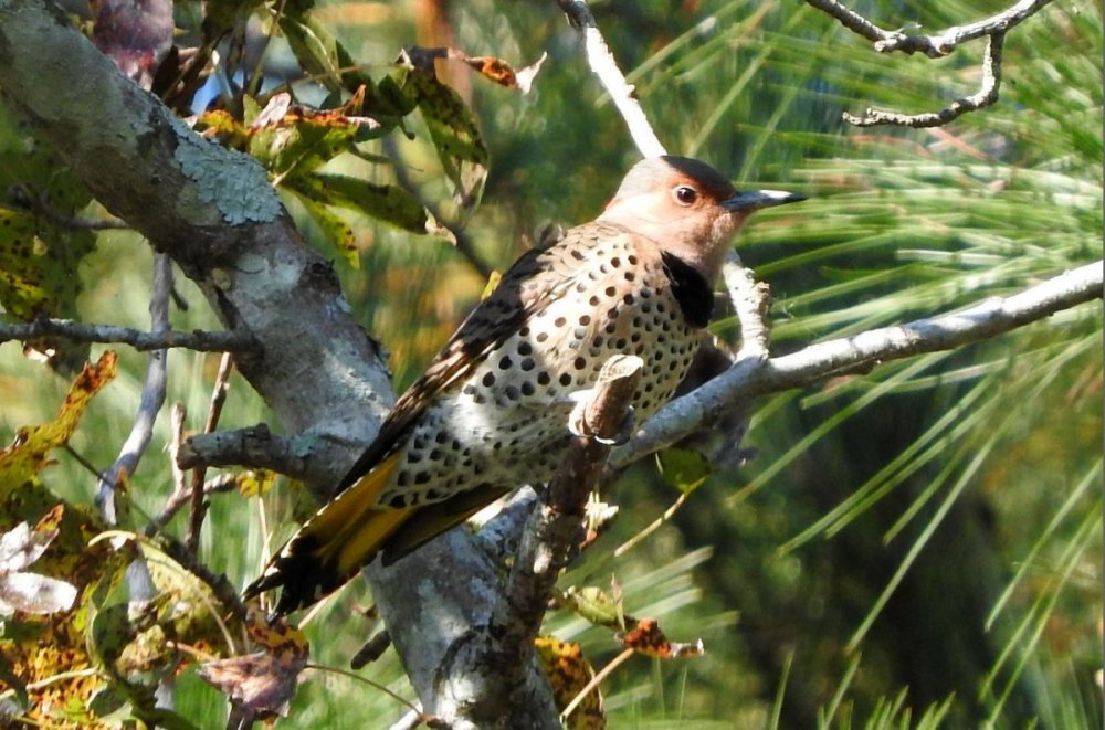 Northern Flicker 10-30-17.JPG