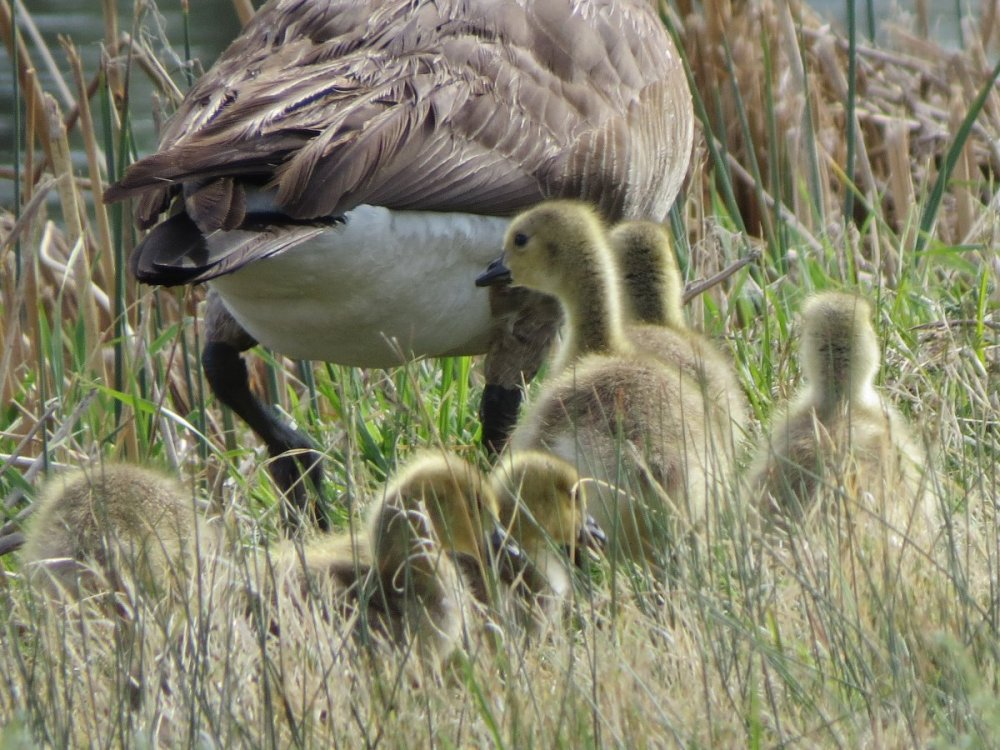 goslings63crop.JPG
