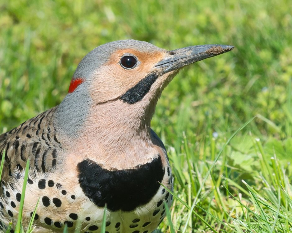 Northern Flicker crop HVT-7226032.jpg