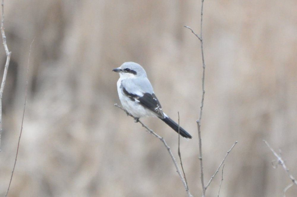 Northern Shrike - 2021-03 - Scarborough (3).JPG