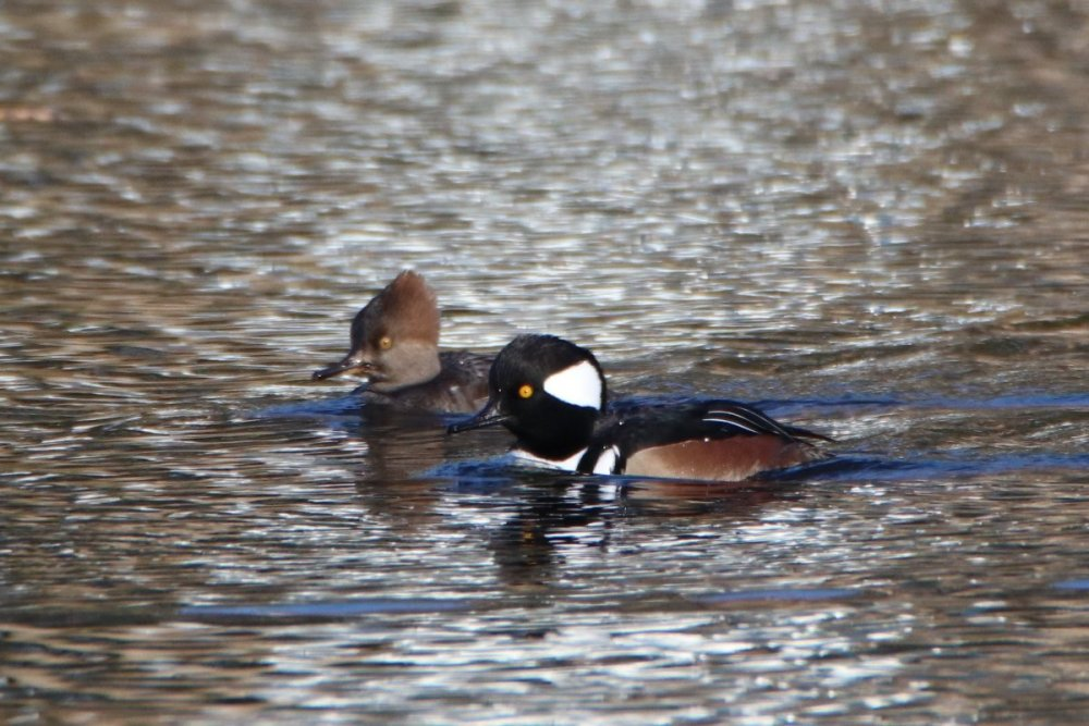 Hooded merganser, male & female - Degnan Park, NJ.JPG