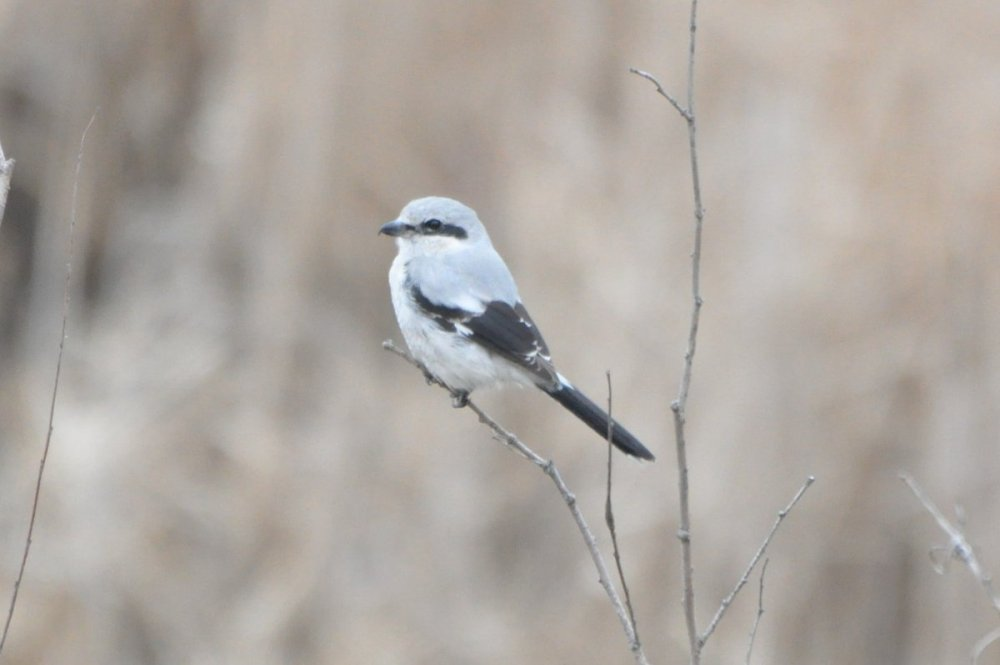 Northern Shrike - 2021-03 - Scarborough (4).JPG