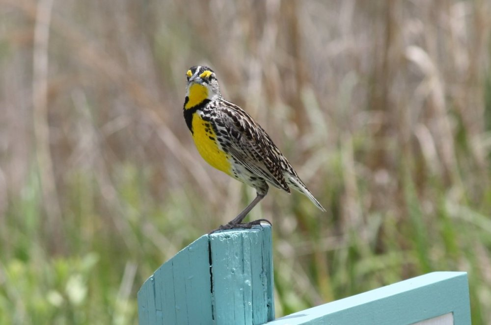 Eastern meadowlark - Disney Wilderness Preserve, FL.JPG